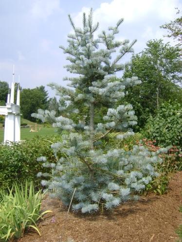 Korean Blue Spruce