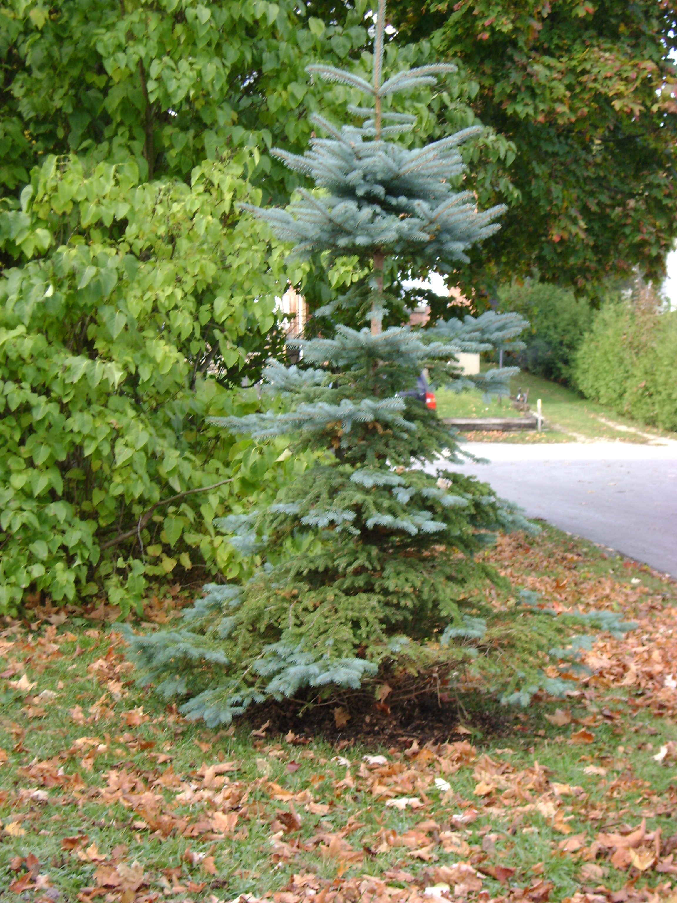 Decorative Blue Spruce : The tale of blue spruce green theatre