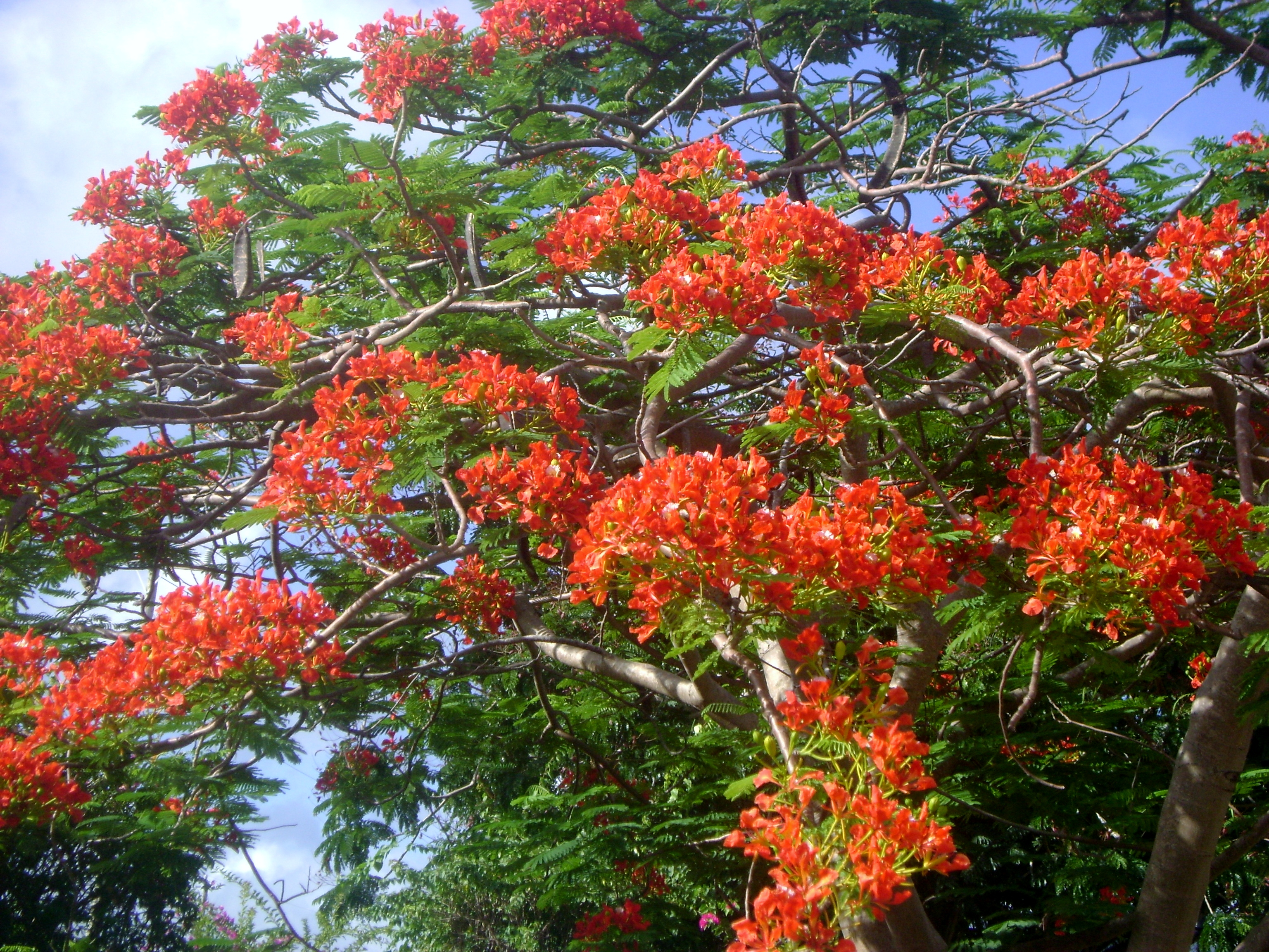 Flamboyant tree green theatre for Tree with red flowers
