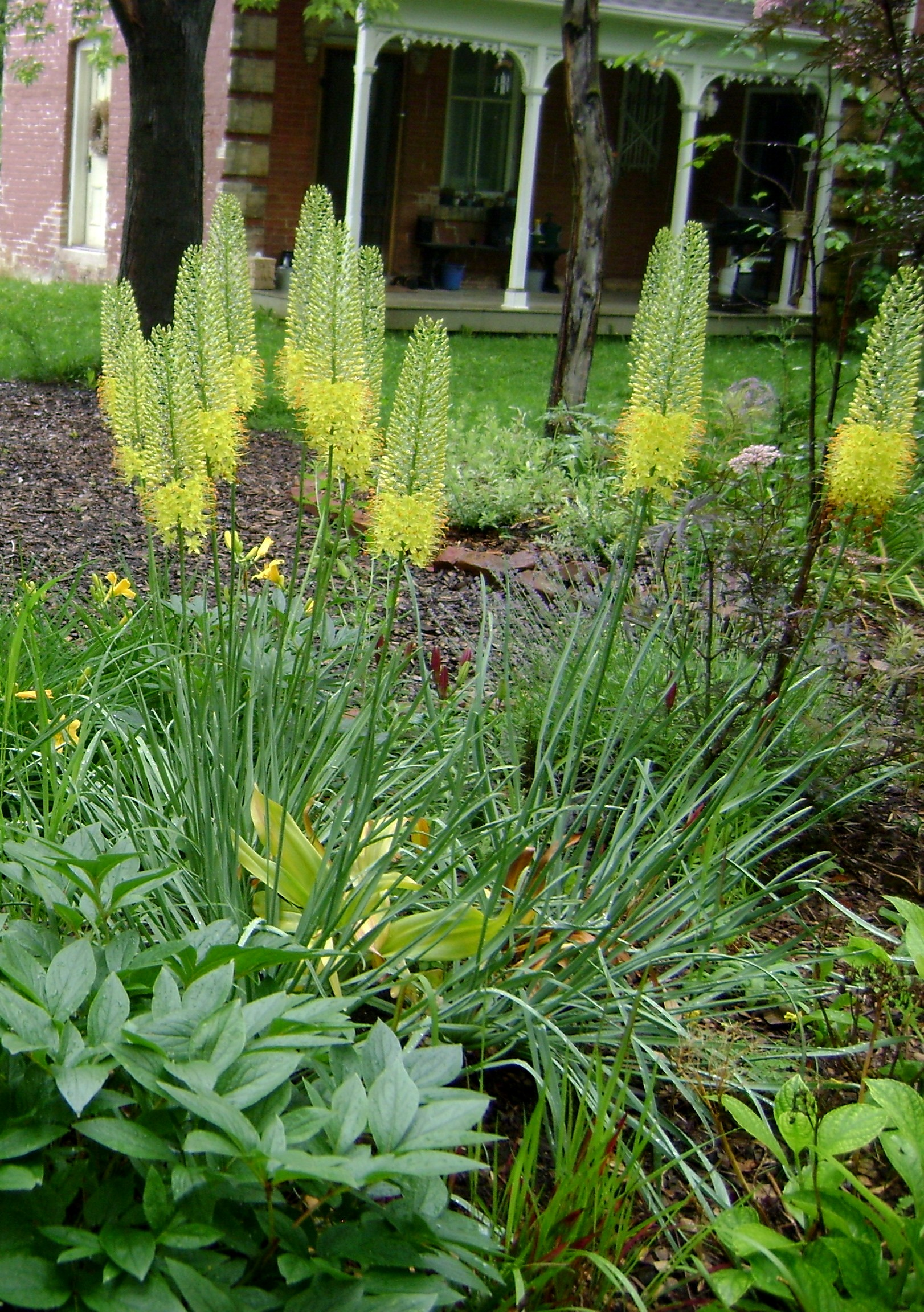 Foxtail Lily Green Theatre